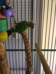 African Senegal Breeding Pair