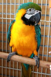 beautiful blue and gold macaw for a sweet home
