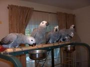 Beautiful, tamed parrots for sale and their fresh laid eggs