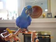 Parrots for sale(African Gray and Macaw)