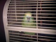 Parrot for sale in St. John's NL