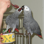 Talking African Grey parrots for X Mass